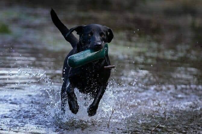 Hundeverhaltensberater Ausbildung - schwarzer Hund rennt durchs Wasser