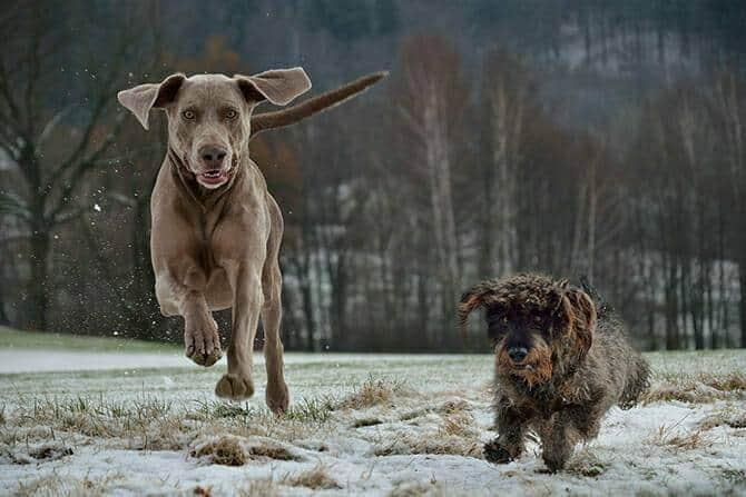 Hundeverhaltensberater Ausbildung - Weimaraner und kleiner Hund rennen im Schnee