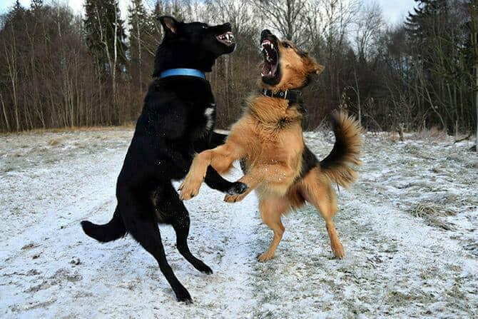 Hundeverhaltensberater Ausbildung - zwei Hunde kämpfen im Winter