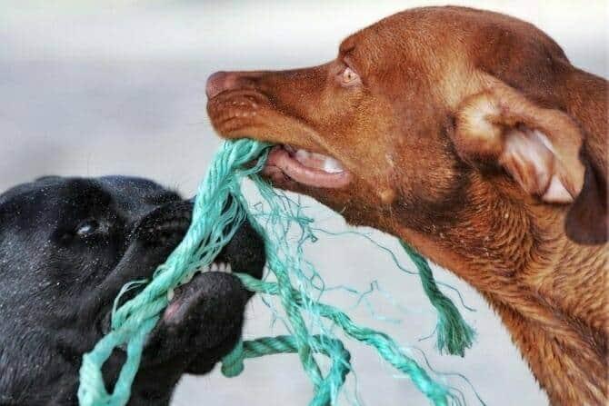 Hundeverhaltensberater Ausbildung - zwei Hunde spielen mit grünem Seil