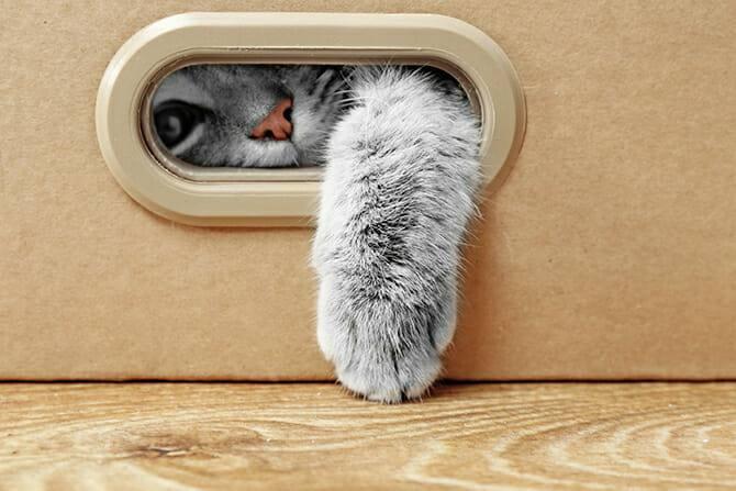 Katzenverhaltensberater Ausbildung - graue Katze streckt ihre Pfote aus dem Loch eines Pappkartons