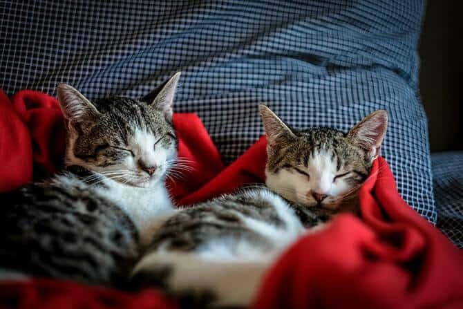 Katzenverhaltensberater Ausbildung - zwei Katzengeschwister schlafen in roter Decke auf dem Sofa nebeneinander