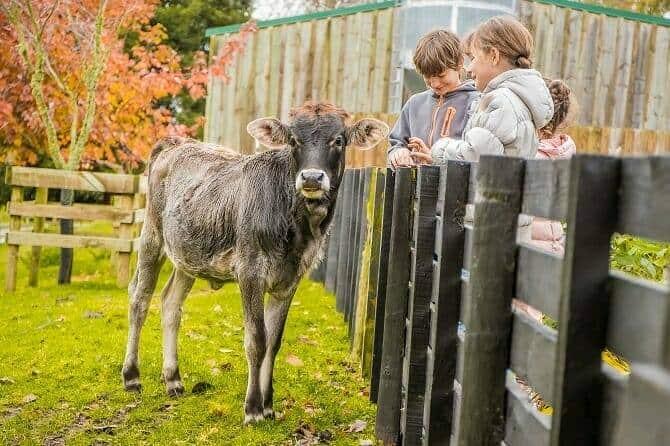 Tiergestützte Arbeit Ausbildung - drei Kinder schauen nach einer jungen Kuh auf einer Farm