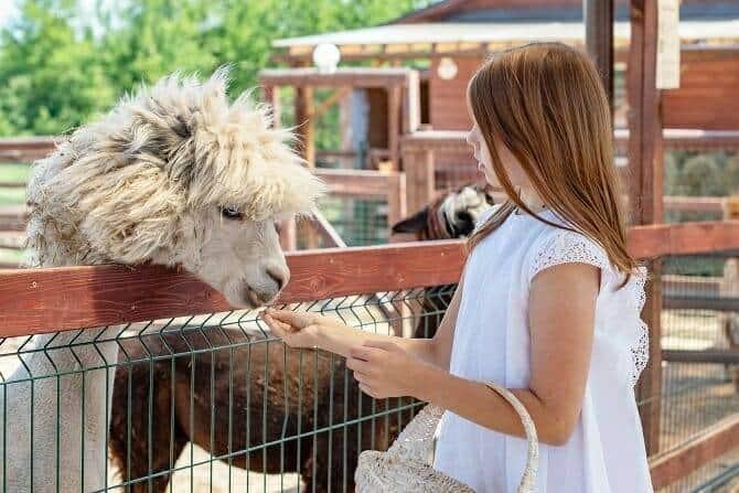 Tiergestützte Arbeit Ausbildung - junges Mädchen füttert ein Alpaka über den Zaun einer Alpakafarm