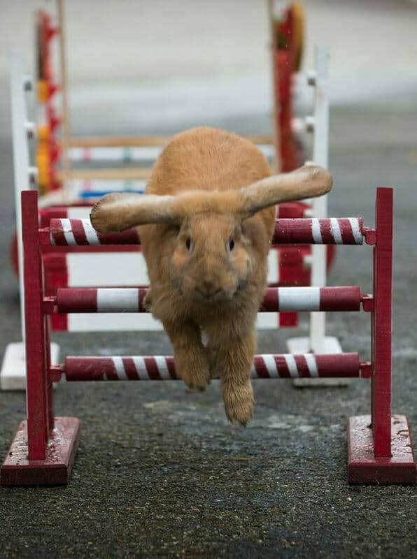 Tiertrainer Ausbildung - Kaninhop über rot-weißes Hindernis