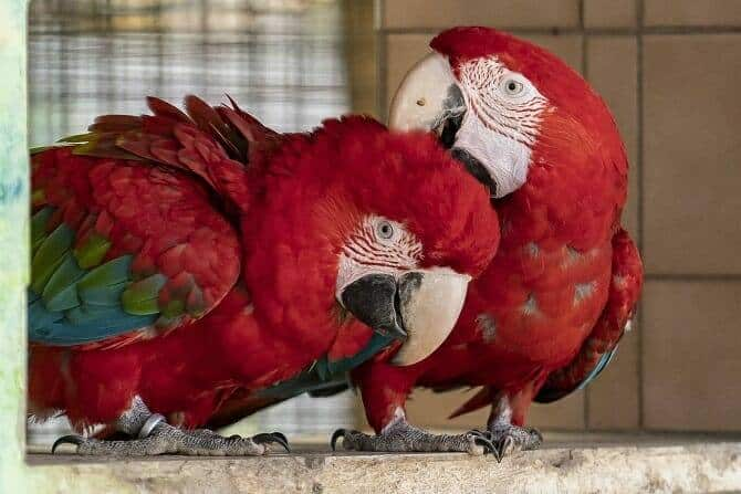 Tiertrainer Ausbildung - zwei Papageien bei Körperpflege und Sozialkontakt