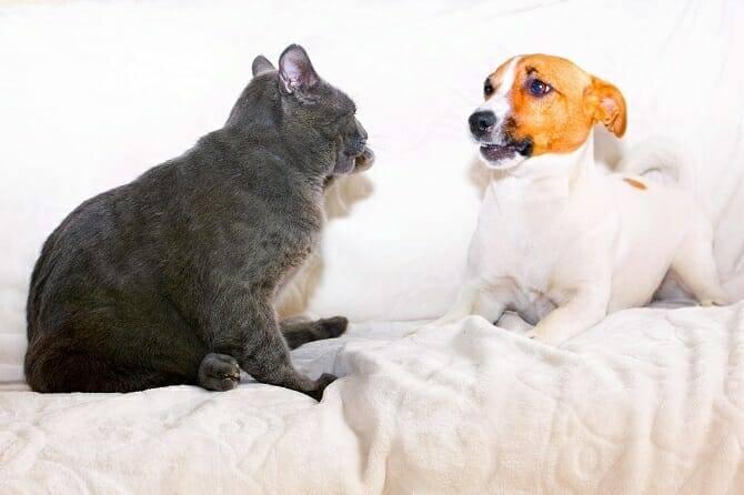 Verhaltensmedizinische Tierpsychologie Ausbildung - Jack Russel Terrier und graue Katze kommunizieren