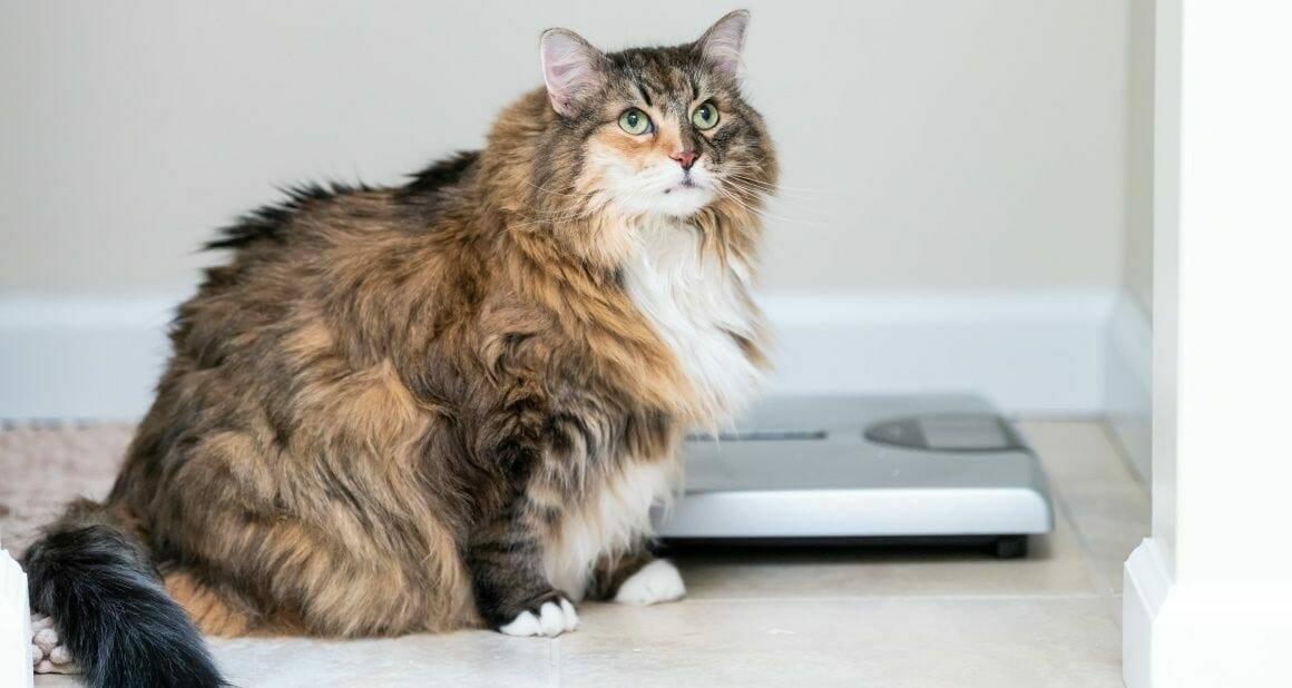 Abnehmtipps für übergewichtige Katzen