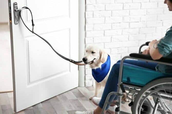 Assistenzhundetrainer Ausbildung - Assistenzhund hilft Mann im Rollstuhl beim Öffnen der Tür