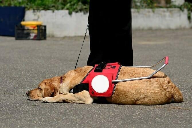 Assistenzhundetrainer Ausbildung - Assistenzhund ruht sich auf Straße aus
