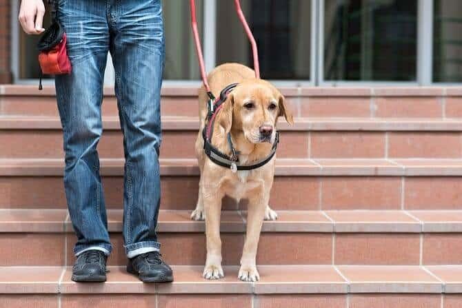 Assistenzhundetrainer Ausbildung - Blindenführhund hilft Mann Treppe hinunter