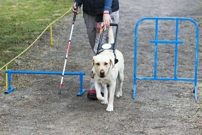 Assistenzhundetrainer Ausbildung - Golden Retriever führt Blinden an Hindernis vorbei