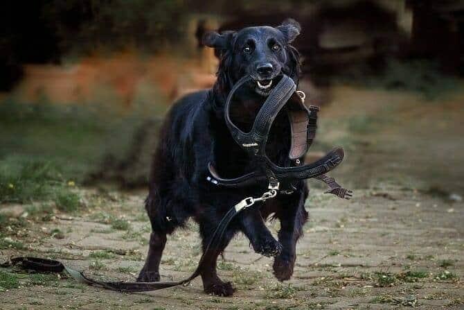 Assistenzhundetrainer Ausbildung - Hund trägt sein Geschirr mit Leine im Maul