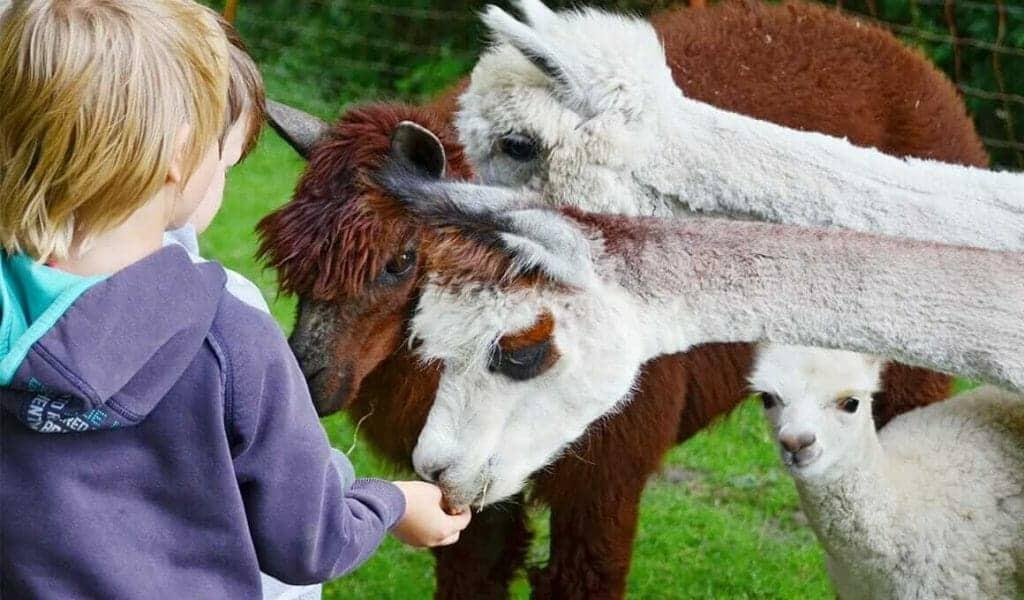 leben lernen mit ponys und alpakas