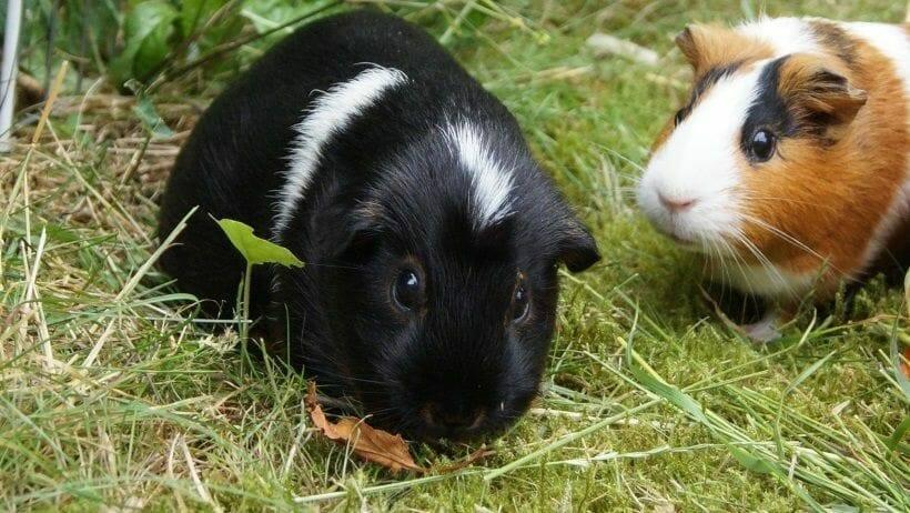 meerschweinchen und sommerhitze hitzschlag