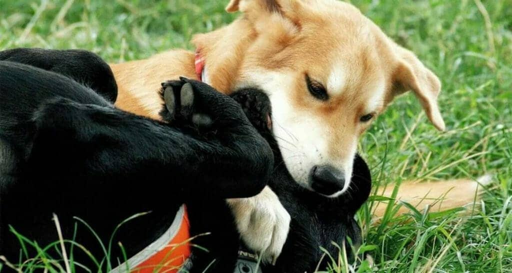 mobbing unter hunden