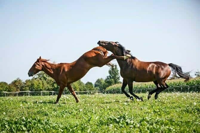 Pferdeverhaltensberater Ausbildung - aggressive Rangkämpfe zwischen zwei Pferden auf der Weide