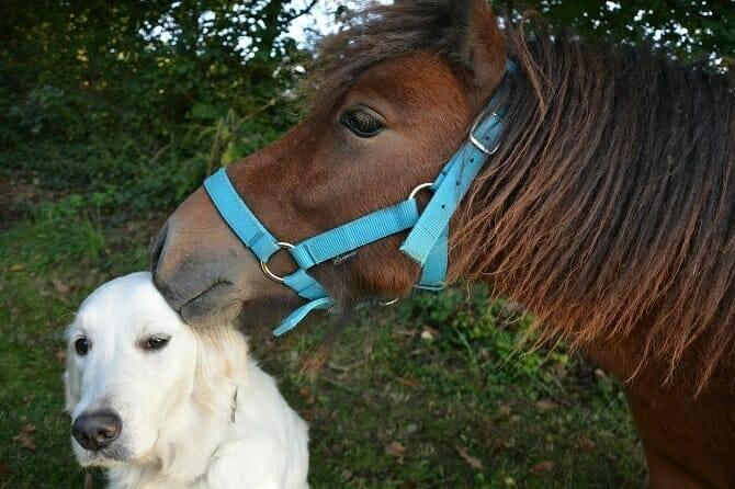 Pferdeverhaltensberater Ausbildung - braunes Pony schnuppert an Golden Retriever