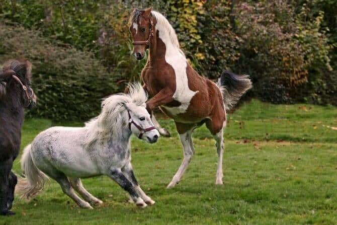 Pferdeverhaltensberater Ausbildung - drei Pferde kämpfen miteinander auf einer Wiese