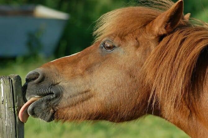 Pferdeverhaltensberater Ausbildung - fuchsfarbenes Pferd leckt Pfosten ab