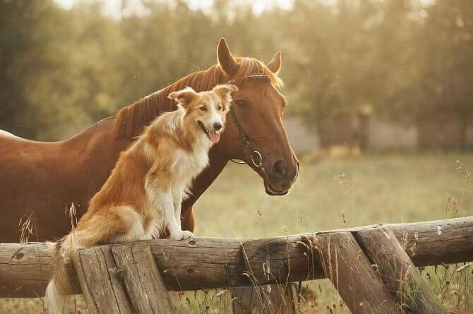 Pferdeverhaltensberater Ausbildung - fuchsfarbenes Pferd mit Border Collie neben einem Zaun bei Sonnenuntergang