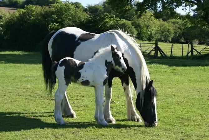 Pferdeverhaltensberater Ausbildung - Grasende Scheckstute mit Fohlen auf einer grünen Weide