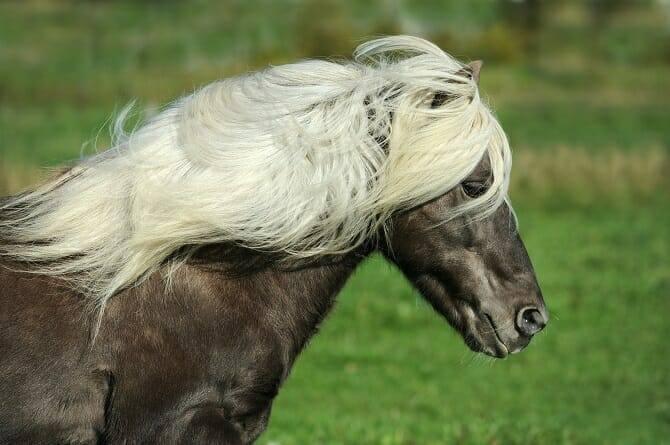 Pferdeverhaltensberater Ausbildung - Kohlfuchs Isländer mit langer Mähne galoppiert über eine Wiese