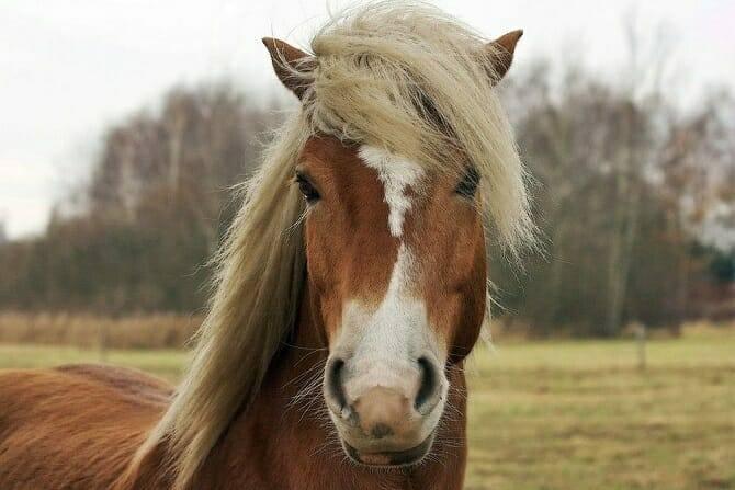 Pferdeverhaltensberater Ausbildung - Pferd mit langem Schopf und Blesse auf einer Weide