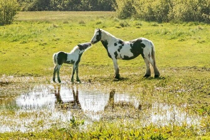 Pferdeverhaltensberater Ausbildung - Scheckstute mit Fohlen auf nasser Wiese im Sommer