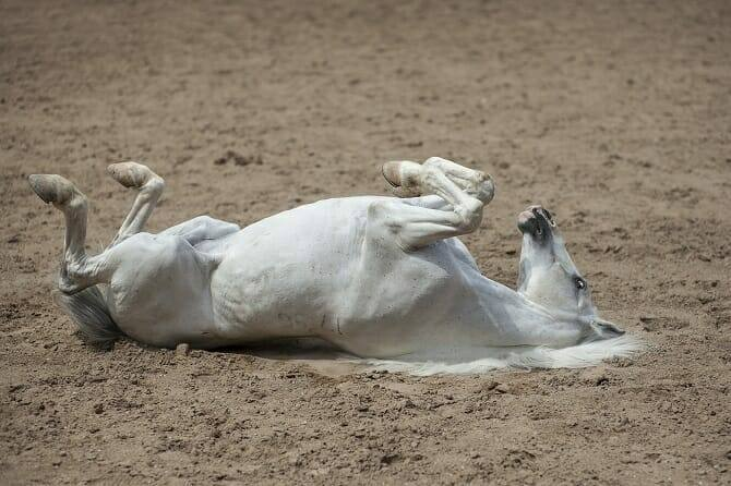 Pferdeverhaltensberater Ausbildung - Schimmel wälzt sich im Sand