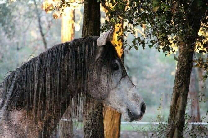 Pferdeverhaltensberater Ausbildung - spanisches Pferd lauscht nach etwas im Wald