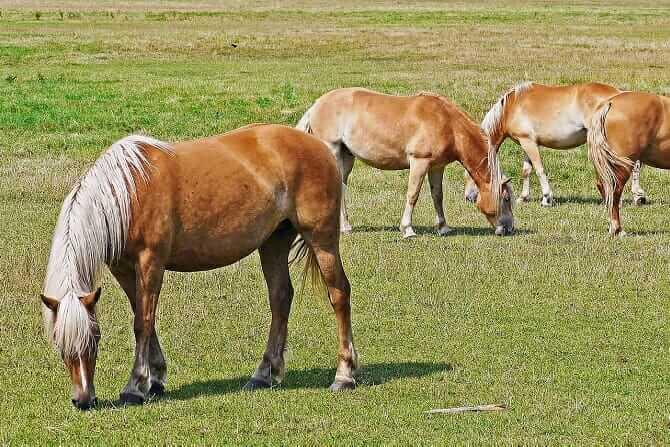 Pferdeverhaltensberater Ausbildung - vier Haflinger auf der Sommerweide