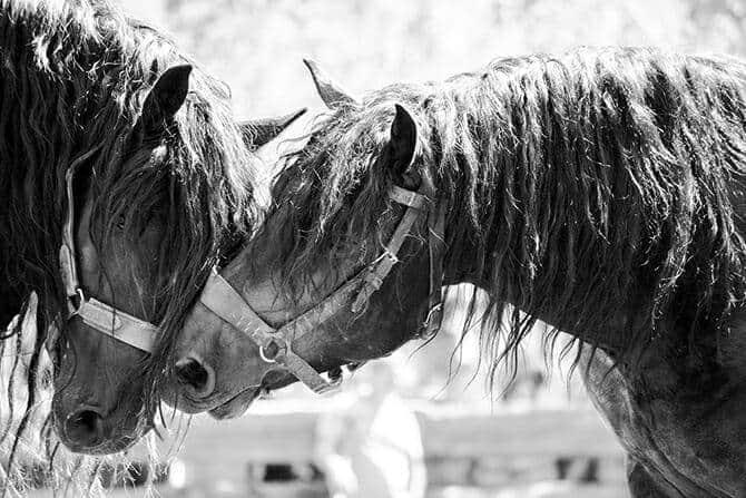 Pferdeverhaltensberater Ausbildung - zwei Hengste mit langer Mähne nehmen Kontakt miteinander auf