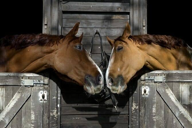 Pferdeverhaltensberater Ausbildung - zwei Pferde nehmen über die Boxentüren Kontakt miteinander auf