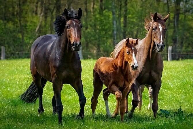Pferdeverhaltensberater Ausbildung - zwei Pferde und ein Fohlen traben auf einer Weide im Sommer
