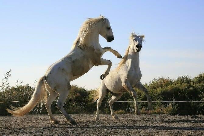Pferdeverhaltensberater Ausbildung - zwei steigende Schimmel auf einem Sandplatz im Sommer
