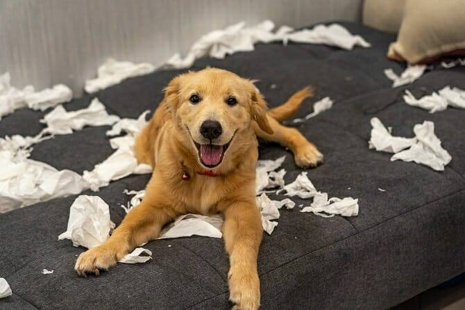 Psychologischer Coach Mensch Tier Beziehung Ausbildung - Golden Retriever zerfetzt Klopapierrollen auf Couch
