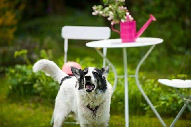 Psychologischer Coach Mensch Tier Beziehung Ausbildung - Hund im Garten bellt jemanden an
