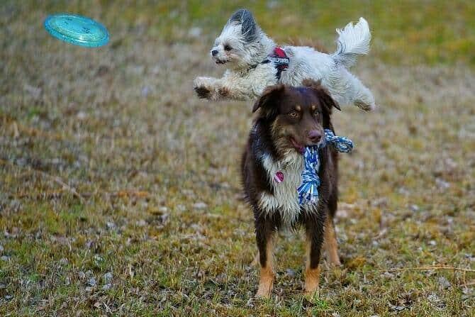Sportwissenschaften Hund Ausbildung - 2 Hunde beim Spiele mit Frisbee