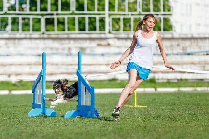 Sportwissenschaften Hund Ausbildung - Cavalier king Charles spaniel mit Frau beim Agility training