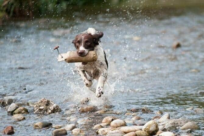 Sportwissenschaften Hund Ausbildung - Hund apportiert im Galopp im Bach