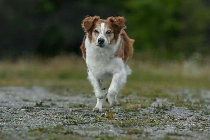 Sportwissenschaften Hund Ausbildung - Hund galoppiert frontal auf uns zu