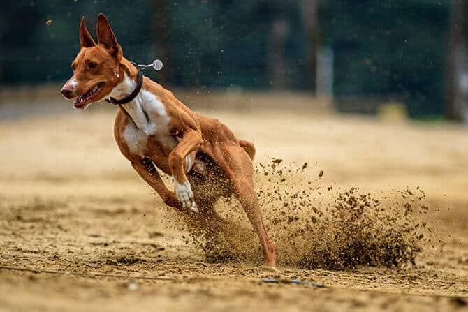 Sportwissenschaften Hund Ausbildung - Hund im Rennen in der Kurve mit aufspritzender Erde