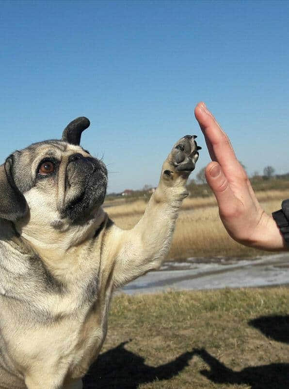 Sportwissenschaften Hund Ausbildung - Hund mach high five mit Pfote