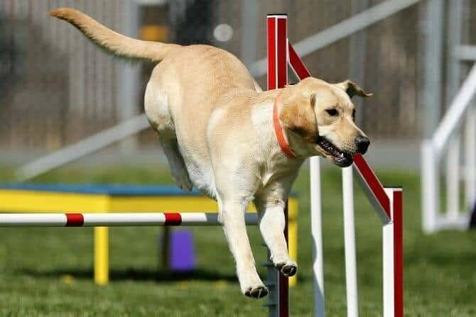 Sportwissenschaften Hund Ausbildung - Labrador Retriever springt über Hindernis