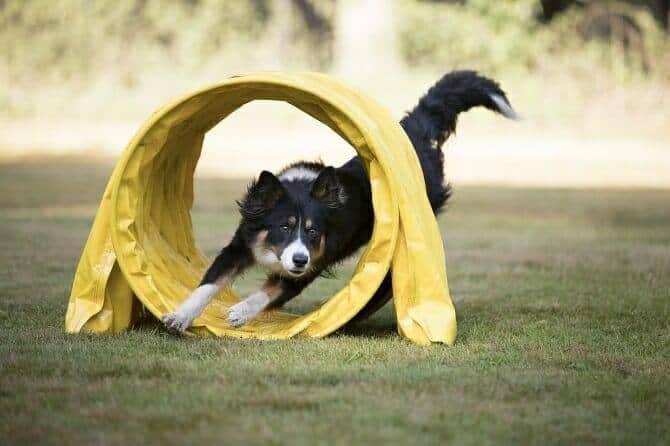 Sportwissenschaften Hund Ausbildung - oder Collie rennt durch gelben Agility Tunnel