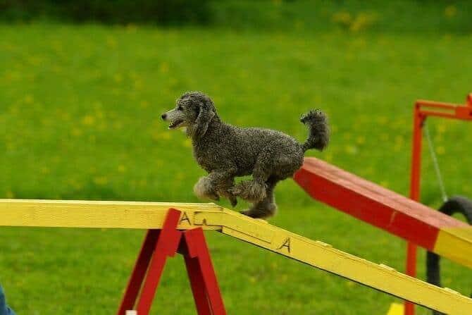 Sportwissenschaften Hund Ausbildung - Pudel balanciert über Hindernis auf Hundeplatz