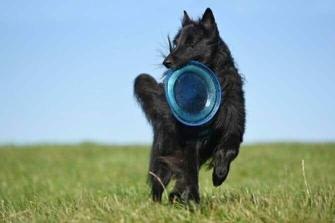 Sportwissenschaften Hund Ausbildung - schwarzer Hund trägt Frisbee im Maul