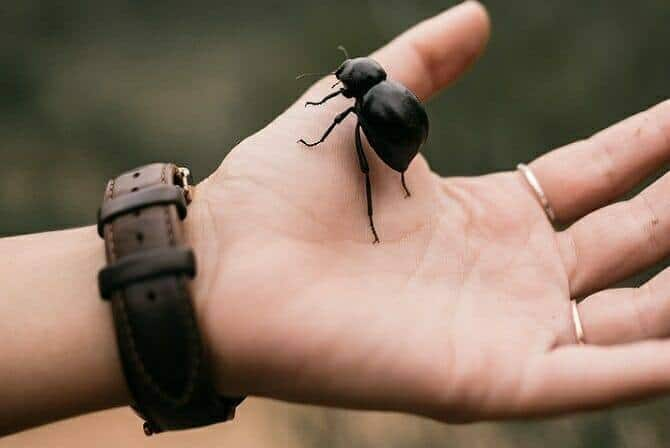 Tiergestützte Arbeit Ausbildung - großer schwarzer Käfer sitzt auf menschlicher Hand