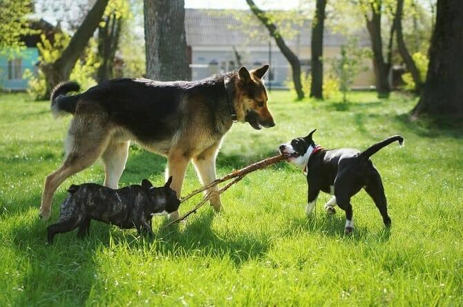 Tierpsychologie Ausbildung - drei freundliche Hunde spielen im Frühling mit einem Stock im Park